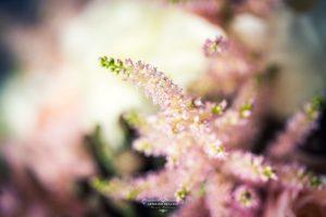 Flor de astilbe